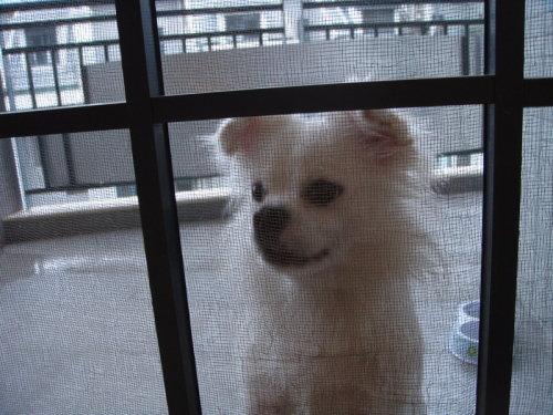 宠物犬露露 - 老猫侠 - 老猫侠的博客