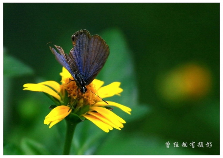 (原创摄影)蝶恋菊(曲纹紫灰蝶) - 经哥(曾经拥有) - .