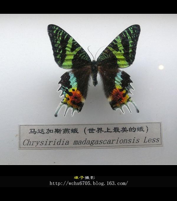 【原创摄影】千姿百态的蝴蝶(2) - 雄子 - 雄子言语