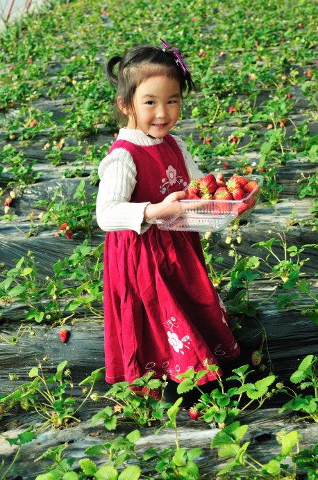 收获的乐趣:自己动手采摘草莓活动体验!