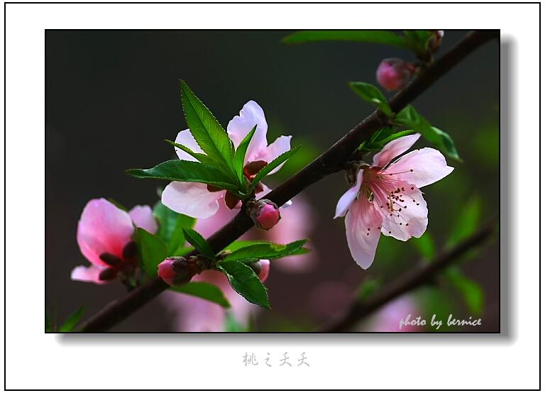 【原创摄影】桃之夭夭,灼灼其华 - 王工 - 王工的摄影博客