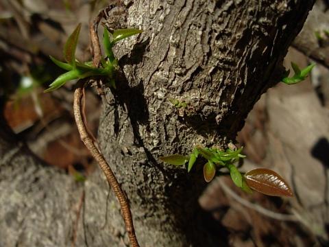 (原创 看图说话)老树 - 君子兰花 - 君子兰花的博客