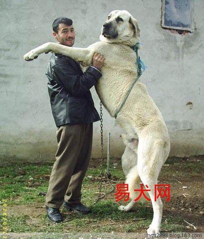 世界猛犬排行榜 藏獒王 十大禁养猛犬排行榜 比特犬