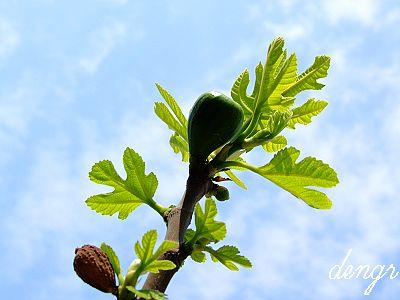 亚当夏娃偷吃的智慧果---无花果冰糖水 - 可可西里 - 可可西里