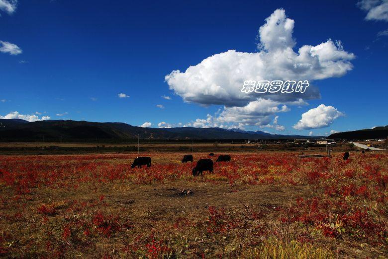 [原创]云南2008----香格里拉(四) - 米亚罗红叶 - 米亚罗红叶