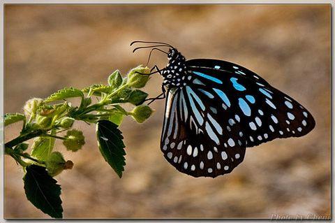 [原创]上川越冬斑蝶 - Cheni - Cheni的蝴蝶馆