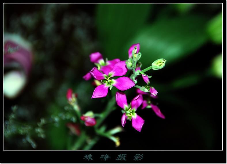 【原创】紫罗兰花 - 珠峰 - 插上飞翔的翅膀