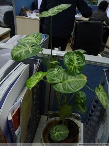 纤细的盆栽也可以长这么高啊! - dreamtower - yora的博客