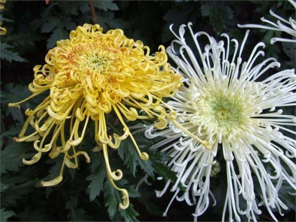 美菊争艳 - 桦树 - 桦树的博客