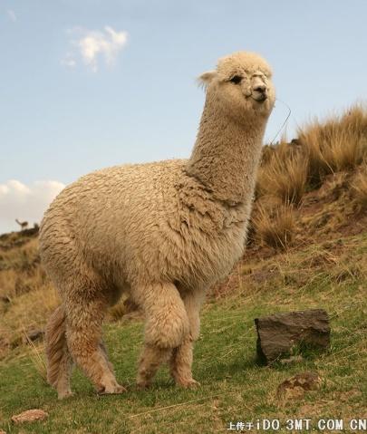 今日介绍一种可爱既动物,草泥马(图) - GM - GM的博客