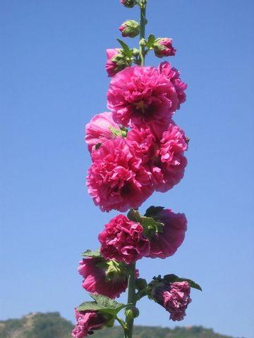 《 原 》旱原绿化佳品-蜀葵 (兰州园丁摄) - 兰州园丁ljm44713 - 我的博客原创照片,欢迎指导