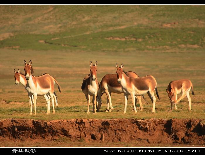 引用 (原摄)近距离拍摄三江源保护区藏野驴 - 毛毛熊 - xuxiaochen1961的博客