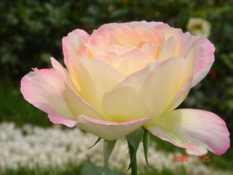 玫瑰在别处开放 - 九妹的小木屋 - 九妹的小木屋