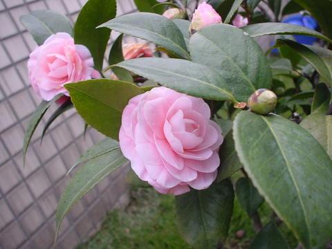 我家的茶花树