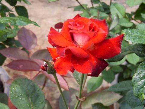 月季---花中皇后 - 冉陆 - RLZ666-欢迎您