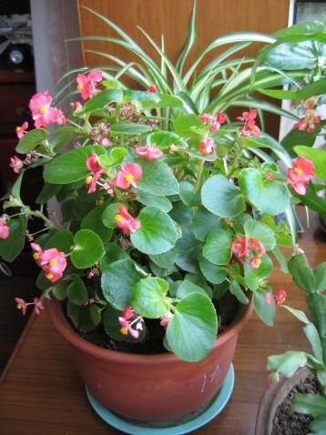 海棠花——花红叶绿 - 冬天的太阳 - 冬天的太阳的博客