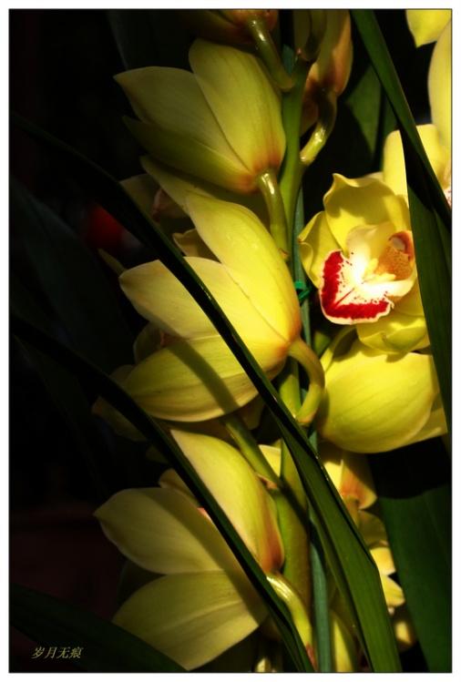 韩国大花蕙兰—罕见新品【原创图文】 - 岁月无痕 - 岁月无痕