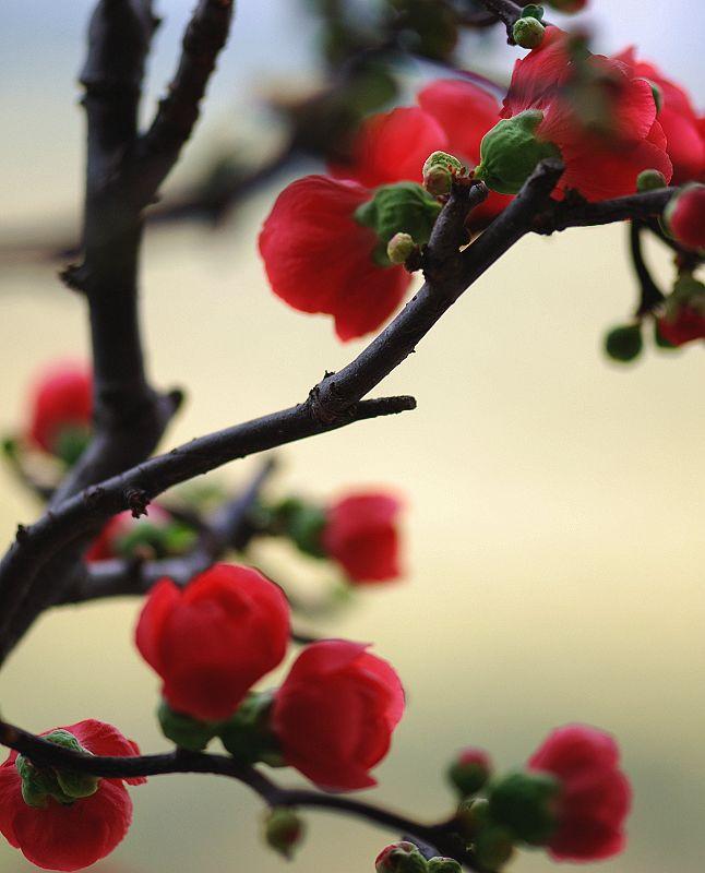 新春好 - 西樱 - 走马观景