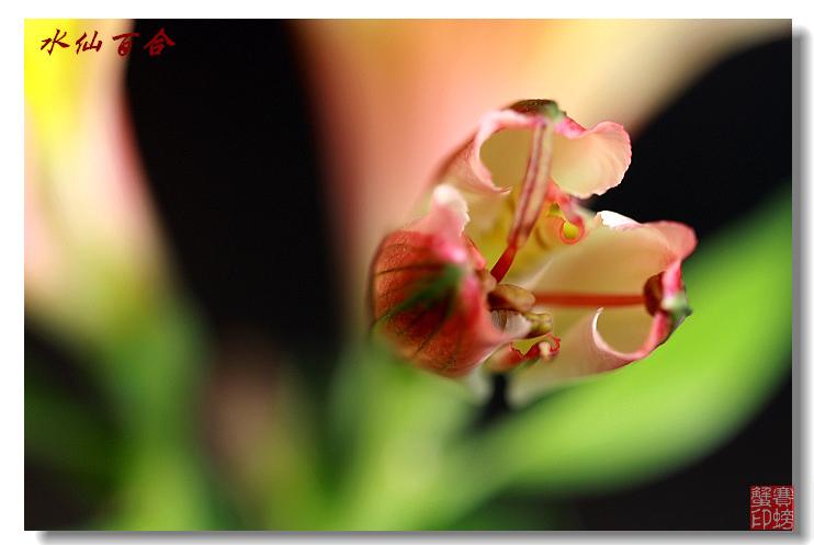 【原创】水仙百合 - 赛螃蟹 - 赛螃蟹的家