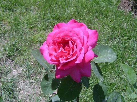 【原摄】花中皇后月季花 - 莹无尘的日志 - 网易博客 - 月明天更高 - 月明天更高