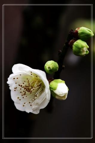 红梅白梅都迎春 - 苦乐年华 - 苦乐年华的博客