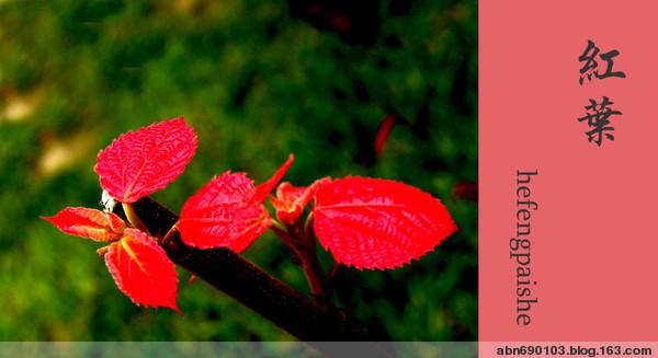 花与美 - 华山梅 - 华山梅欢迎您