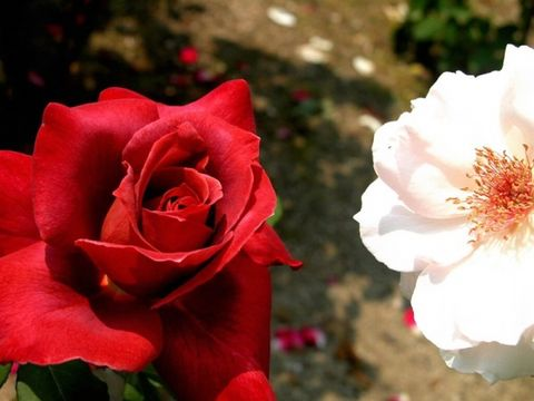 鲜花蔷薇写真系列欣赏 - 千山枫叶 - 千山枫叶【钢花】的个人主页