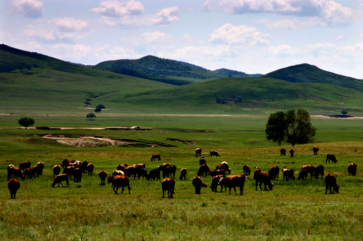 (原创摄影)草原上的肥牛 - 刘炜大老虎 - liuwei77997的博客