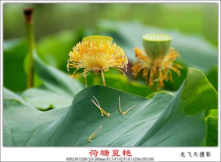 (原创摄影)荷塘夏艳之五 - 龙飞天的日志 - 网易博客