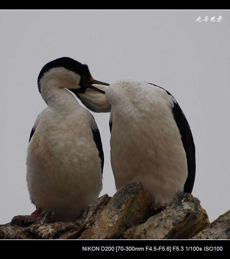 可爱的企鹅 - 西樱 - 走马观景