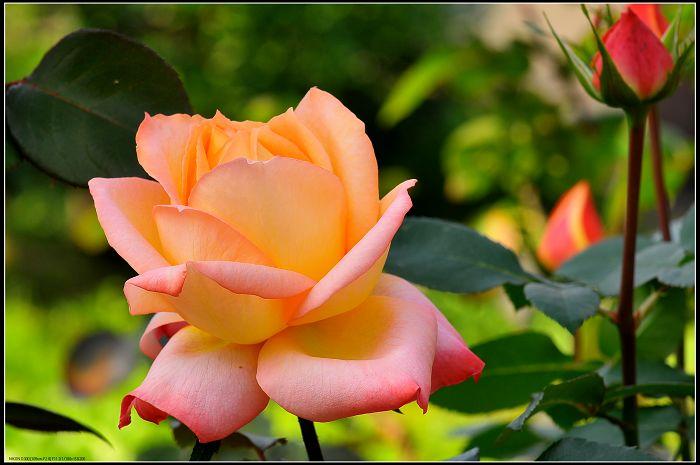 献上一组花朵送给我所有的朋友..... - 贵公子 - 徒步夜行者