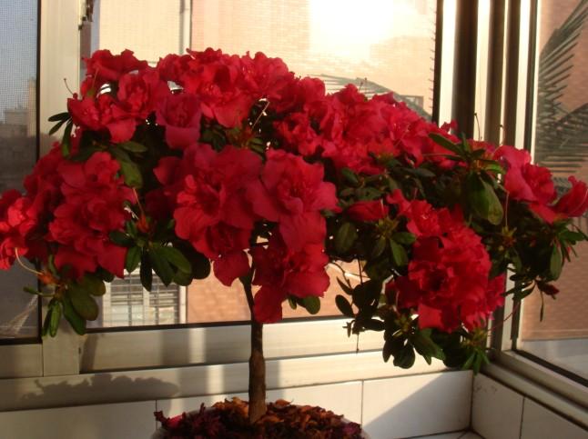 【分享】我家阳台上的花们
